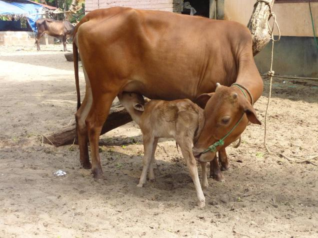 H F Cattle India Indian breed Co...