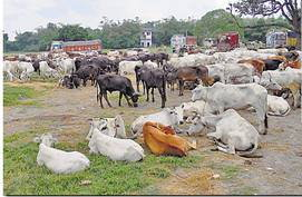 Cattle at Nirsa, Jharkhand