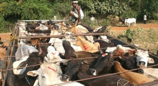 illegal cow transport