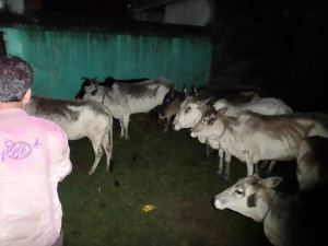 Cattle Rescue at Kulti