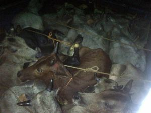 Medinipur Cattle rescue