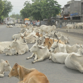 385871-cow-slaughter