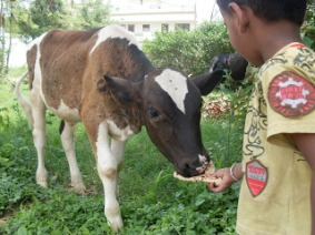 Feeding to cows is considered a very sacred work in India.