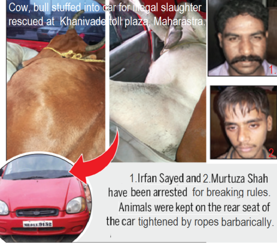 cow-bull-stuffed-into-car-for-slaughter-rescued-in-maharashtra